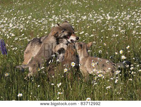 Playful Wolf Puppies
