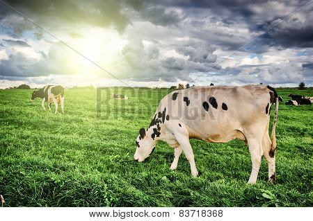 Herd Of Cows Grazing At Summer Field