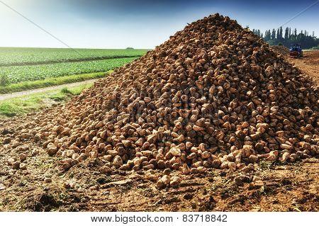 Pile Of Harvested Sugar Beet