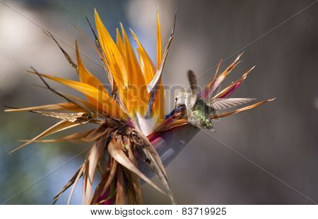 Bird Of Paradise And Humming Bird