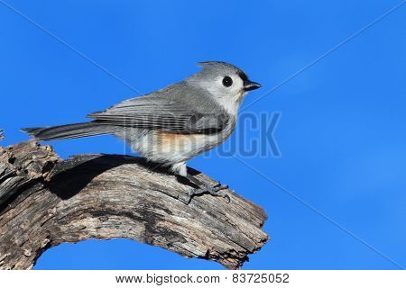 Titmouse (baeolophus Bicolor) On A Stump