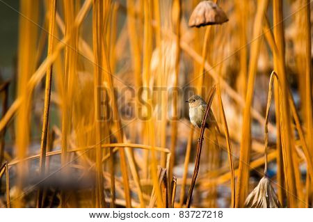 A bird stand among yellow reed marshes