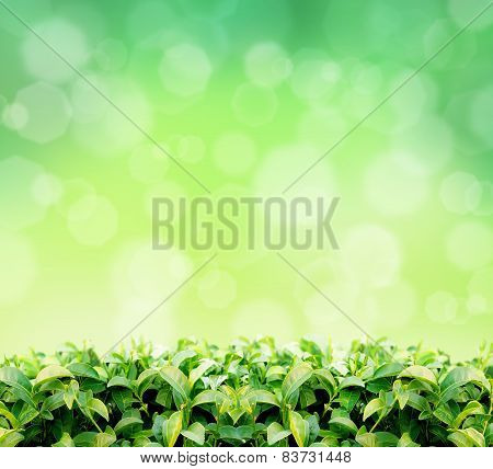 natural green tea leaf in sun green light background
