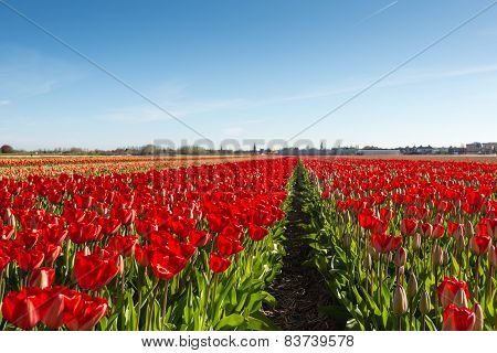 Red Blooming Tulip Bulbs In A Dutch Field