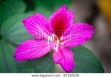 Close-up Of Hibiscus Soft Focus