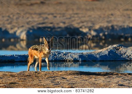 Black Backed Jackal Leaving Water Hole
