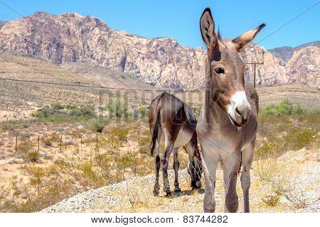Wild Burros, Nevada
