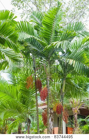Red Sealing Wax Palm In Garden
