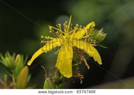 Perforate St John's-wort