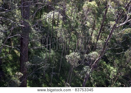 A view down from a Tree Top Walk bridge in the Valley of the Giants, Walpole