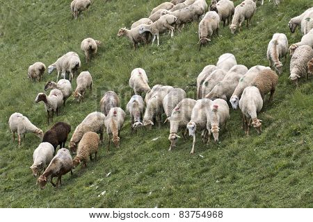sheeps in the Caucas