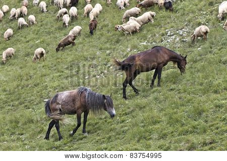 sheeps and horses