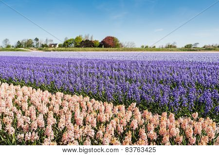 Blooming Hyacinths In The Field Of A Nursery