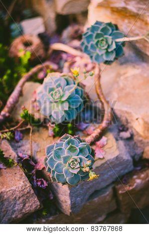 Blooming succulent plant, Echeveria