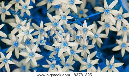 White Ornithogalum (Grass Lily) Flowers With Blue Leaves (16:9 Aspect Ratio)