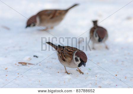 Sparrows In Winter