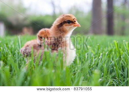 Two Chicks In The Grass