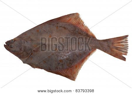 flounder fish cold isolated white