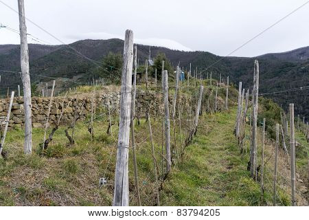 Vineyards Along The Cinque Terre Trail