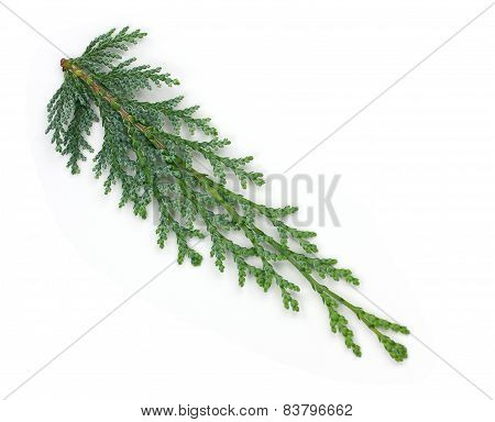 Arborvitae Leaves On A White Background