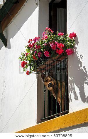 Dog (german Shepherd) Peeking Through A Flowered Balcony