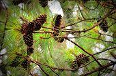 foto of pine cone  - Cluster of pine cones set in pine tree  - JPG