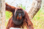 image of orangutan  - Bornean orangutan - JPG