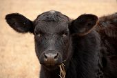 picture of calves  - Head shot of black calf staring inquisitively at the camera with tuft of dried grass hanging from its mouth - JPG