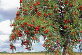 picture of rowan berry  - The European rowan lat - JPG