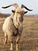 image of goat horns  - Old unkempt goat with big horns on dried pasture - JPG