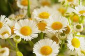 foto of chamomile  - Bouquet of fresh summer chamomile  flowers close up - JPG