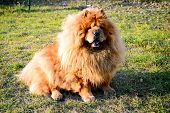 picture of chow  - Brown chow chow dog living in the european city. Lithuania.