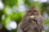 stock photo of macaque  - Long - JPG