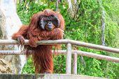 picture of orangutan  - Bornean orangutan - JPG
