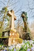 picture of graveyard  - springtime crocus flowers bringing color to a graveyard - JPG
