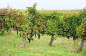 stock photo of moscato  - Harvest in October Oltrepo Pavese italy barbera - JPG