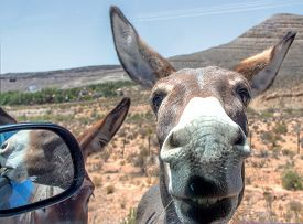 foto of burro  - An image of a wild burro pressing up against a car window - JPG