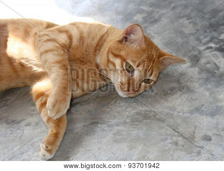 Ginger Cat Lying On The Floor