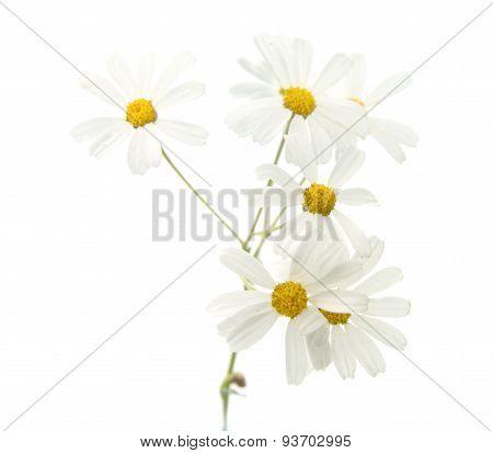 Flora Of Gran Canaria -tanacetum Ptarmiciflorum