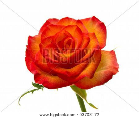 Variegated Rose Isolated On White Background