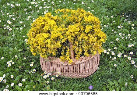 Full Wicker Basket Medical Flowers Of St. Johns Wort. Midsummer Concept