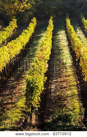 autumnal vineyard, Lower Austria, Austria