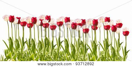 Tulip in front of white background