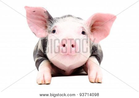 Portrait of the adorable little pig