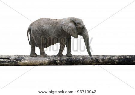 Elephant Balancing On Tree Trunk