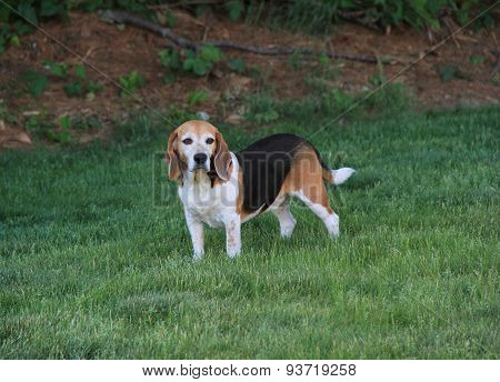 Beautiful Beagle on lush green lawn