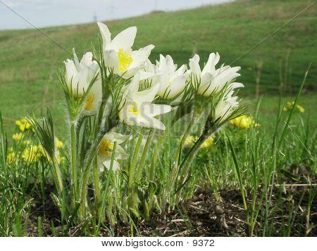Pasque Flowers