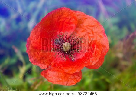 Close Up Poppy Head. Red Poppy