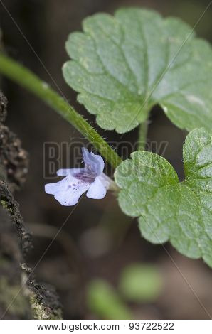 Ground Ivy Fower