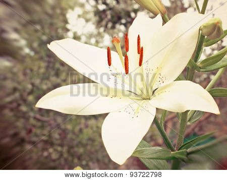 White Lily.toned Image.